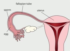 fallopian