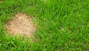 Patch of dead grass